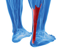 Achilles Tendon With Lower Leg...