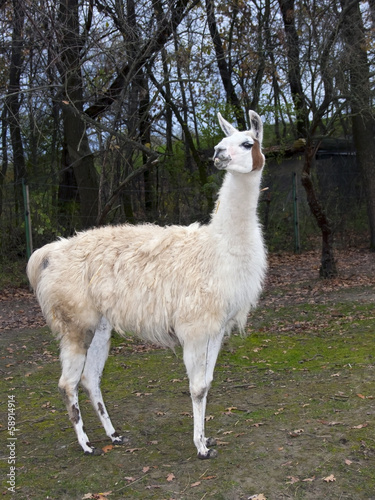 Staande foto Lama Adult male white Llama (Lama glama) full body