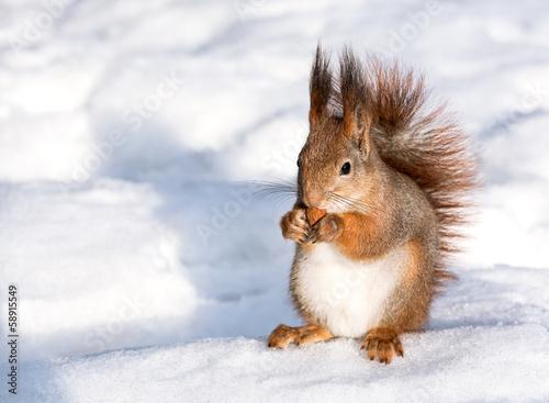 Tuinposter Eekhoorn Red squirrel eat nut