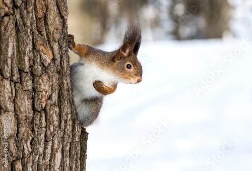 Foto op Canvas Eekhoorn Red squirrel on tree trunk
