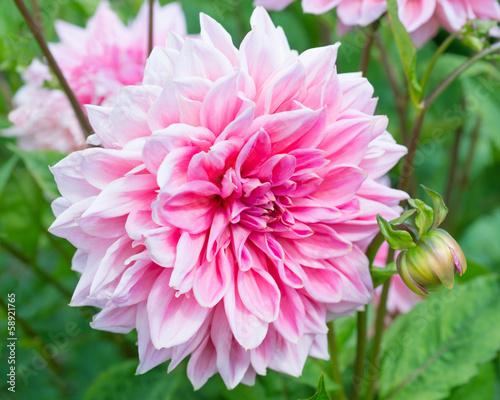 Papiers peints Dahlia Pink Dahlia Flower