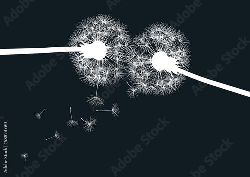 dwa-biale-dandelions-na-czarnym-tle