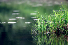 Nature Purity Grass On The Riv...