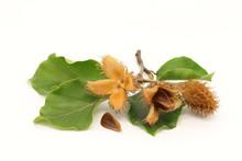 European Beech Fruits, Seed An...