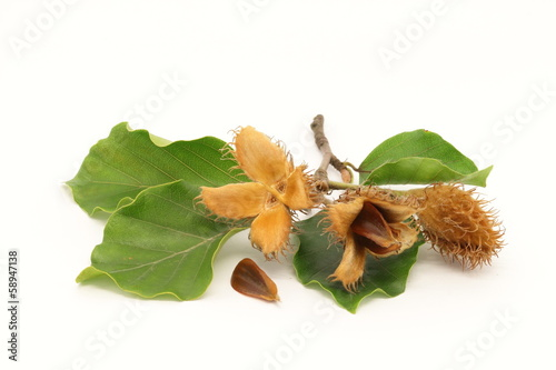 European beech fruits, seed and foliage