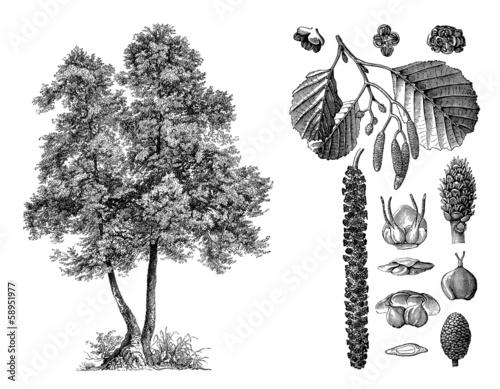 Tree : Alder (Alnus Glutinosa) - Aulne - Erle Canvas Print