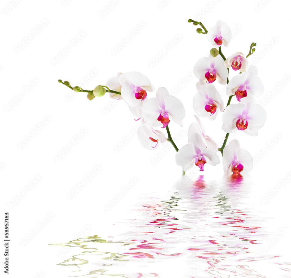 Fototapeta white orchids on water - isolated