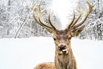 Fototapeta Deer with beautiful big horns on a winter country road