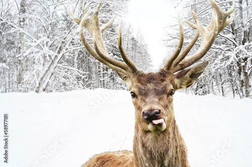 Tuinposter Hert Deer with beautiful big horns on a winter country road