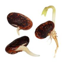 Macro Germinating Bean Isolated On White Background (set)