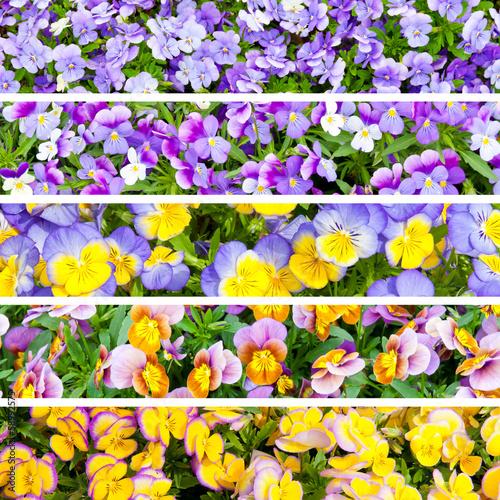 Pansies Collage of pansies flowers.