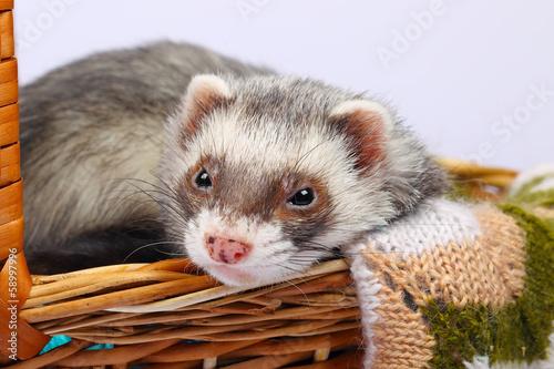 Fotografering  Sable ferret in basket