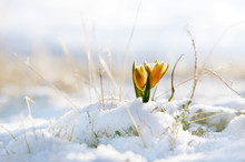Nice Snowdrop In High Mountain Valley With Snow