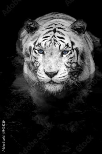 White Tiger #59008729
