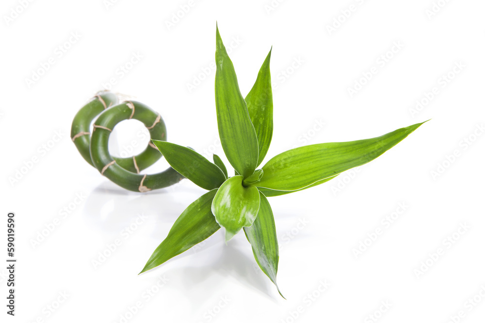 one twig of curly bamboo over white background