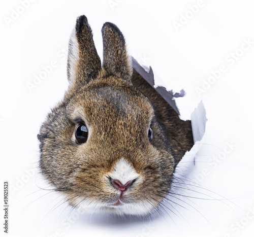 rabbit looks through a hole in a paper Fototapet