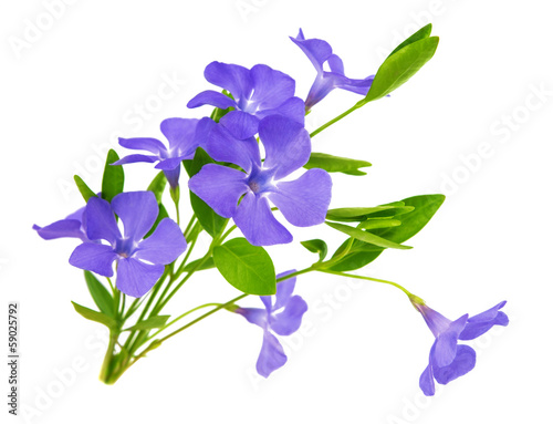 Canvas Print periwinkle flower isolated
