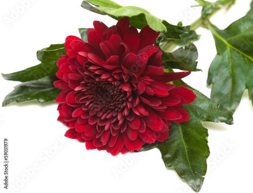 Poster de jardin Dahlia dark red chrysanthemum