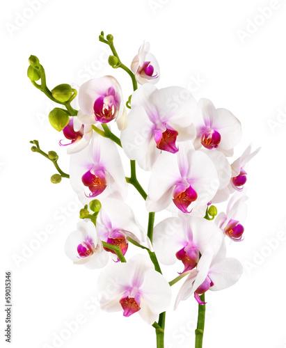Fototapety, obrazy: elegant white orchids - isolated