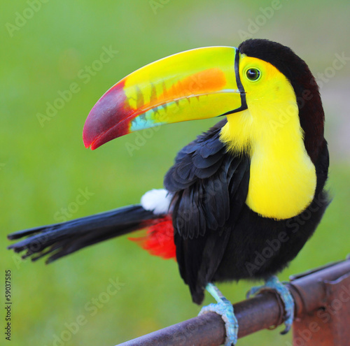 Tuinposter Toekan Colored Toucan. Keel Billed Toucan, from Central America.