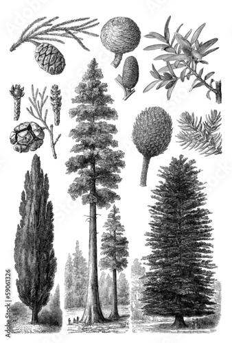 Wallpaper Mural Gymnosperm Trees