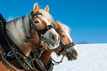 Pferdegespann