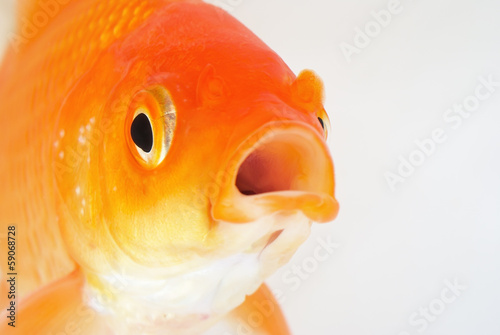 Gold Fish on White Background Fototapet