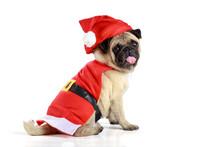 Cute Pug Puppy Wearing A Santa Claus Costume
