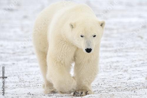 Staande foto Ijsbeer Polar bear walking on tundra.