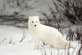 Spaziergänge der Füchse in der Winterzeit