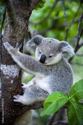 Staande foto Koala Junger Koala auf Magnetic Island in Australien