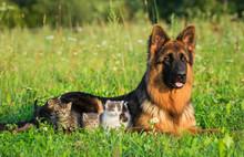 German Shepherd Dog With Little Kittens