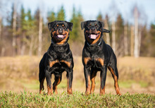 Two Rottweilers Standing On Th...