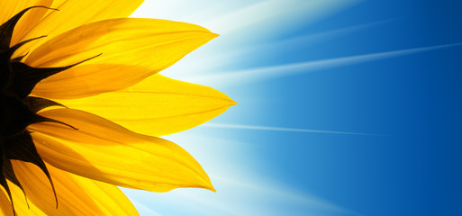 FototapetaSunflower flower sunshine on blue sky background