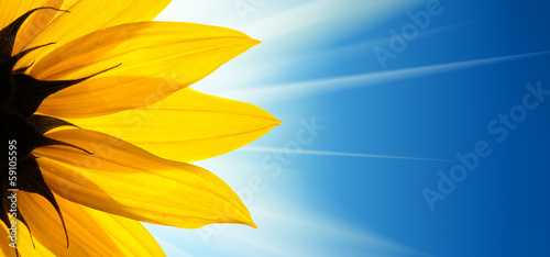 Deurstickers Zonnebloem Sunflower flower sunshine on blue sky background