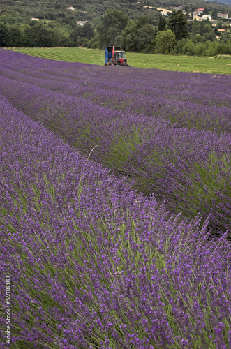 In de dag Lavendel lavande, Lavendula x intermedia, Culture, provence, 26