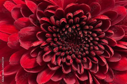 Poster de jardin Dahlia red chrysanthemum flower