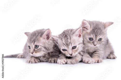 Keuken foto achterwand Kat Scottish tabby kittens
