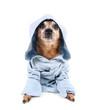 a cute chihuahua in a blue jacket