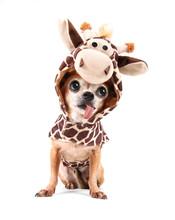 A Cute Chihuahua In A Costume