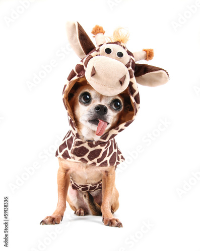 a cute chihuahua in a costume Fototapeta