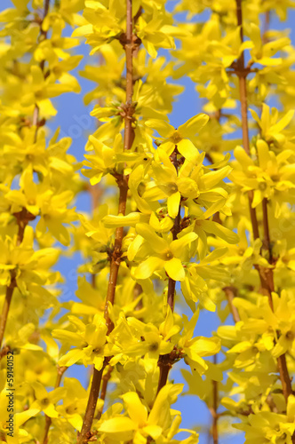 Tablou Canvas floraison d'un forsythia