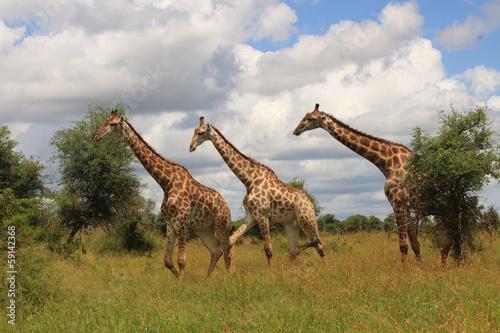 Photo  giraffa