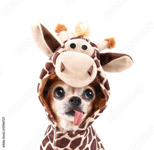 a cute chihuahua in a costume Billede på lærred