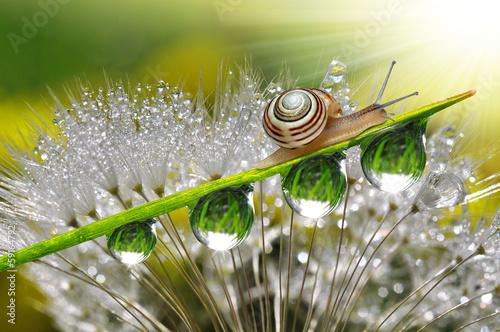 Staande foto Paardebloemen en water Snail on fresh grass with dew drops close up
