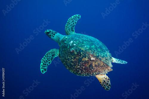 Foto op Aluminium Schildpad Hawksbill sea turtle (Eretmochelys imbricata)