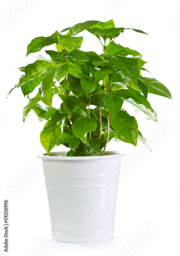 Poster Vegetal coffee plant in a pot