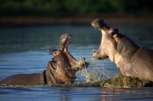 Fighting Hippo's