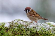 Sparrow Meets Winter