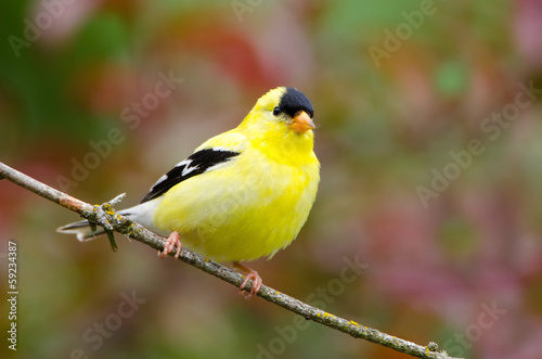 Fototapeta American Goldfinch